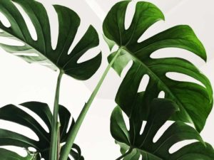 monstera växt