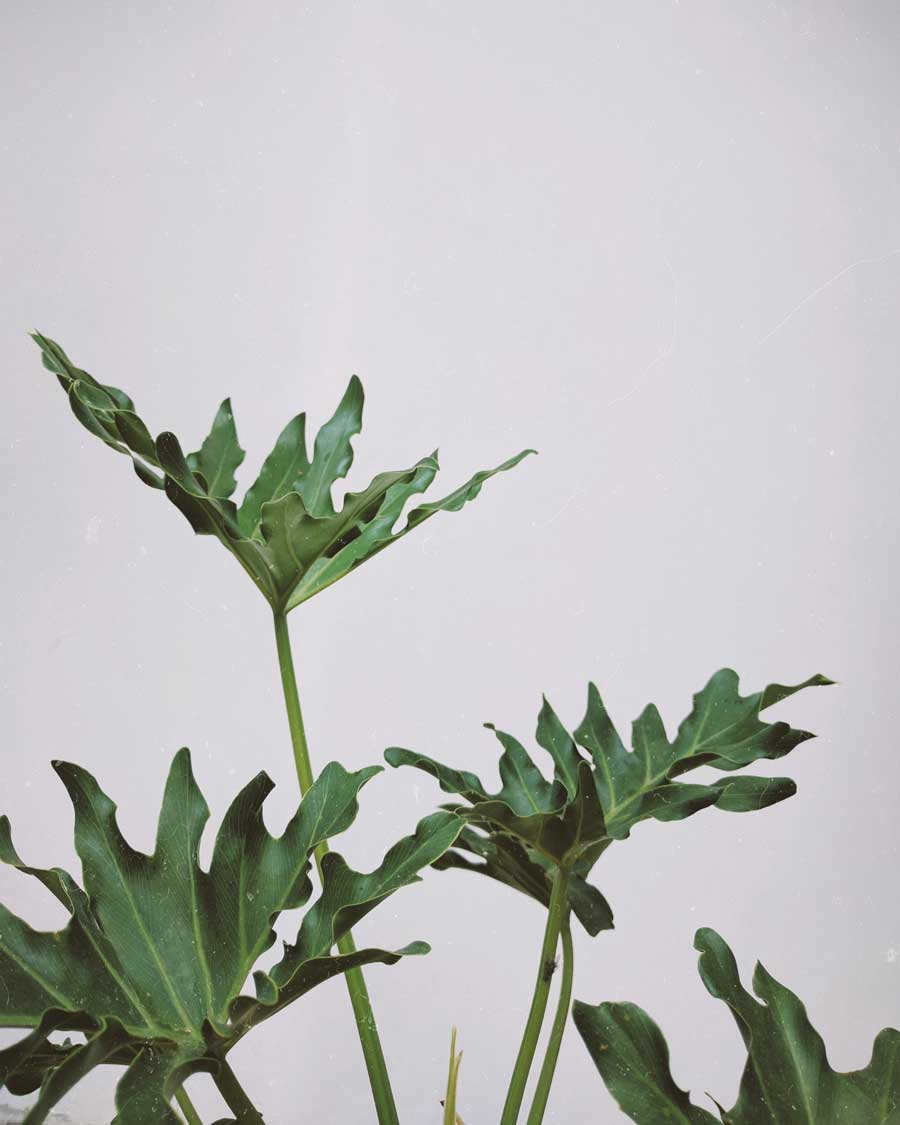 monstera växt